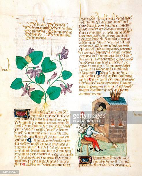 Violets and glass blowers miniature from Tractatus de herbis Latin manuscript by Dioscorides Est 28 e M 59 folio 138 recto France 15th Century