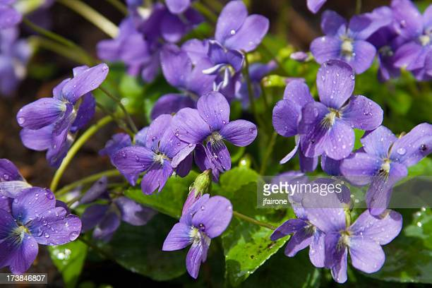 violets - violet flower stock photos and pictures