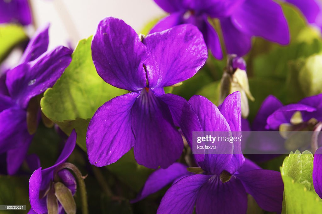 Violets : Stockfoto