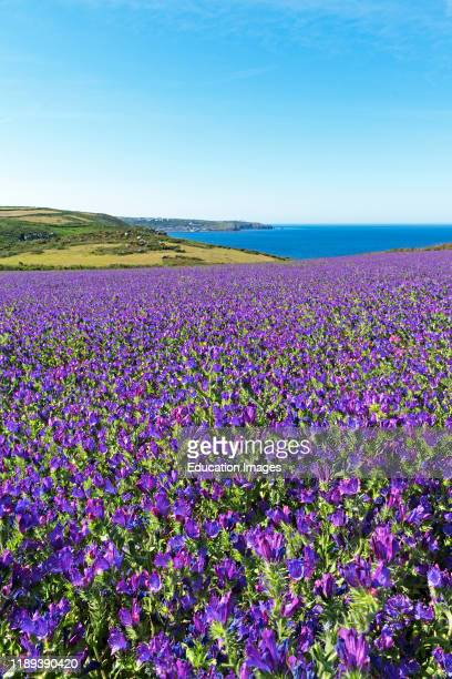 Vipers bugloss growing the fields around bosigran on the western tip of cornwall, England, Britain, uk. .