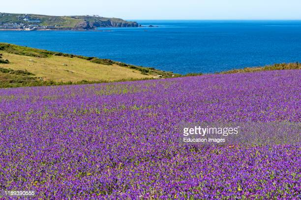 vipers bugloss growing the fields around bosigran on the western tip of cornwall England Britain uk