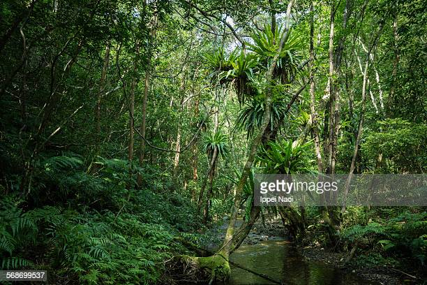 Virgin rainforest with stream, Amami Oshima, Japan