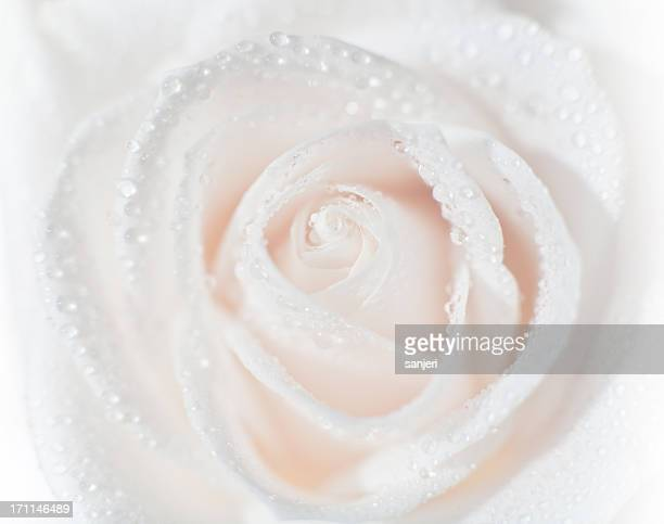 virgin rose flower - wedding background stock pictures, royalty-free photos & images