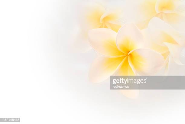 Virgin White plumeria