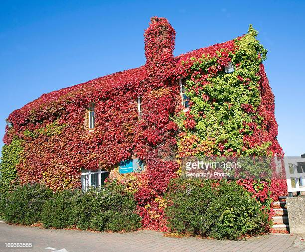 Virginia Creeper in autumn Parthenocissus quinquefolia covering house Snape Maltings Suffolk England