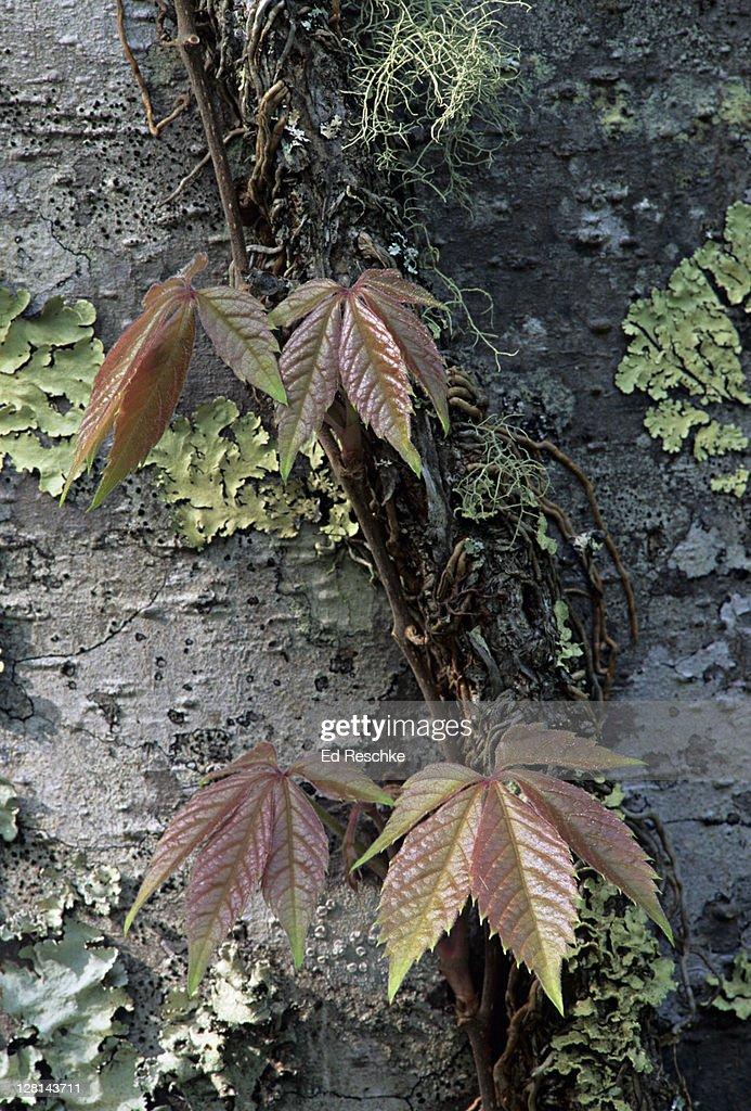 Virginia Creeper, Parthenocissus quinquefolia, a climbing vine, Great Smoky Mountains, USA : Stock Photo