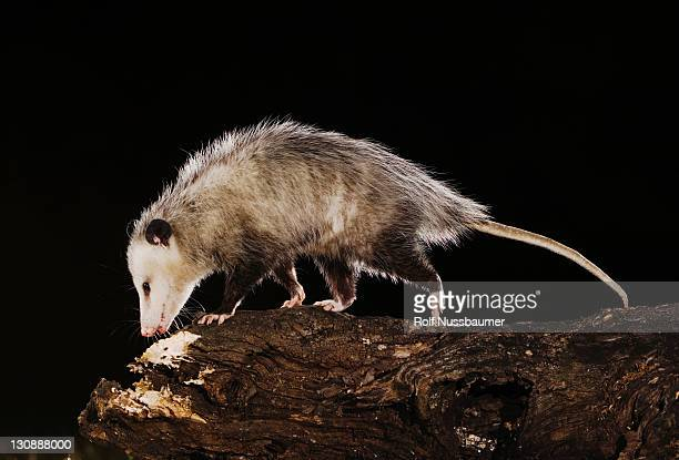 virginia opossum (didelphis virginiana), adult at night walking on log, uvalde county, hill country, central texas, - opossum foto e immagini stock