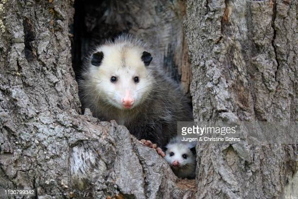 virginia opossum (didelphis virginiana), adult with young animal looks curious from tree hole, pine county, minnesota, usa - possum stock pictures, royalty-free photos & images