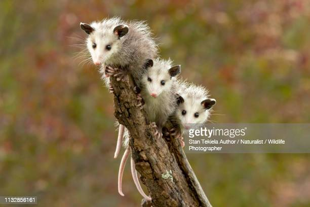 virginia opossum babies on stick hanging out - opossum foto e immagini stock