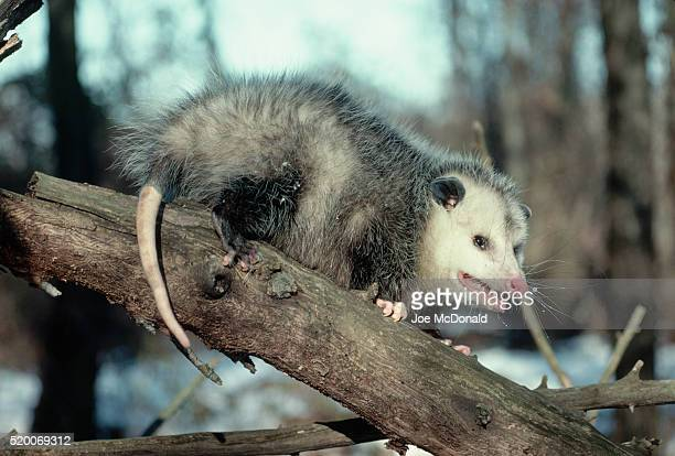virginia opossum in apple tree - opossum stock pictures, royalty-free photos & images