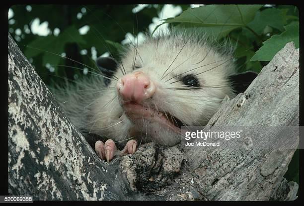 virginia opossum in tree - opossum foto e immagini stock