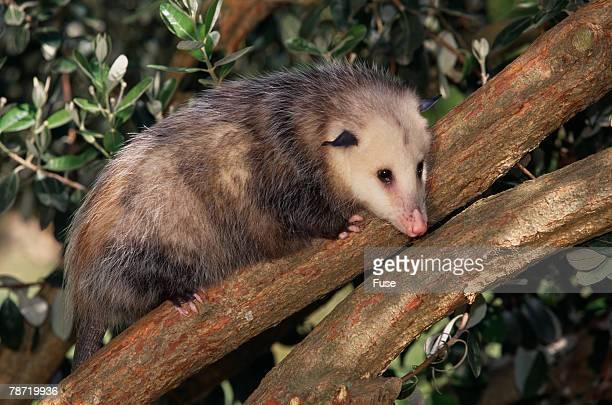 virginia opossum in tree - possum stock pictures, royalty-free photos & images