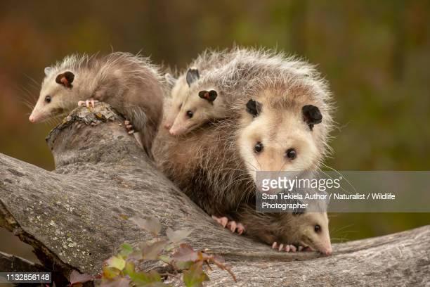 virginia opossum mother and babies fall colors on log - opossum foto e immagini stock