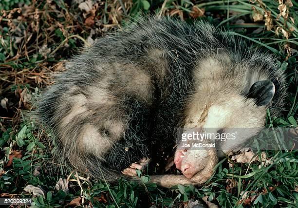 virginia opossum plays dead - opossum foto e immagini stock