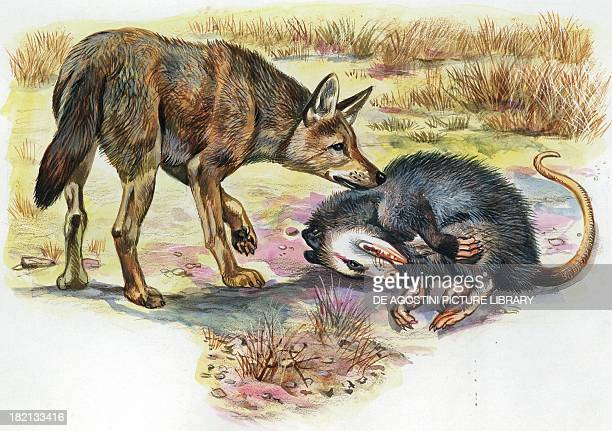 Virginia Opossum pretending to be dead to avoid being caught by a predator illustration