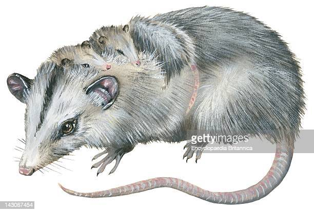 Virginia Opossum Virginia Opossum With Young On Its Back