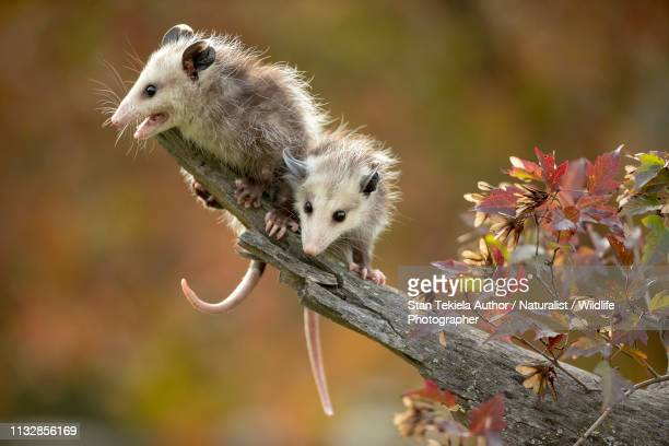 virginia opossum young or babies on branch with fall leaves - opossum foto e immagini stock