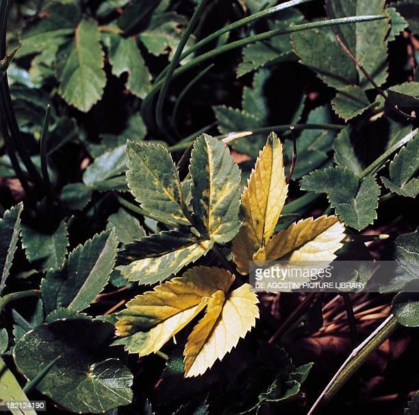 Virusinfected Ground Elder or Bishop's Weed leaves Apiaceae
