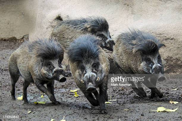 visayan warty pig herd running - wart stock photos and pictures
