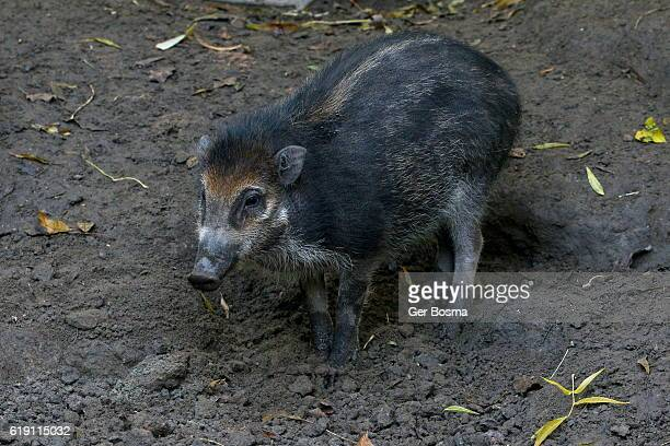 visayan warty pig (sus cebifrons) - stray animal stock pictures, royalty-free photos & images