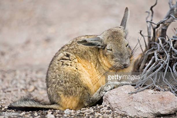 Viscacha (Lagidium) relatives from the Chinchillas in the rocks, Conaf station Las Cuevas, national park Lauca, Chile, South America