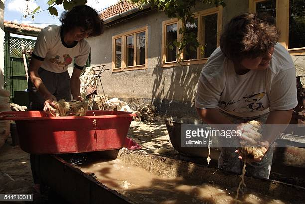 Viscri oder DeutschWeißkirch Rumänien Siebenbürgen Dorf der Siebenbürger Sachsen UNESCO WeltkulturerbeBewohner verarbeiten Wolle und stricken Socken...
