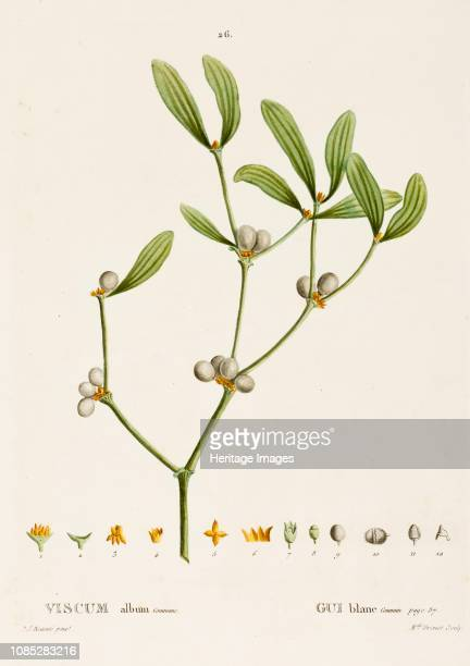 Viscum album L circa 18001830 Extracts and preparations from the parasitic plant mistletoe have been used in the treatment of cancer Druids revered...