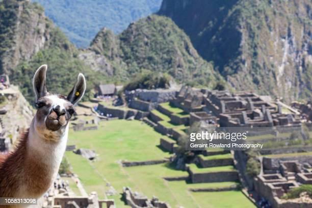 visit peru - llama animal fotografías e imágenes de stock