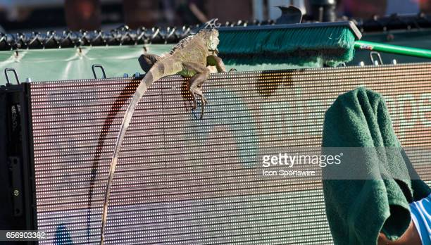 A visiting Iguana during a break in the action at the Miami Open on March 22 at the Tennis Center at Crandon Park in Key Biscayne FL