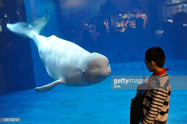 A visitor admires a beluga or white whale the latest attraction at the Beijing aquarium on September 20 2011 Beijing is expecting a surge of tourist...