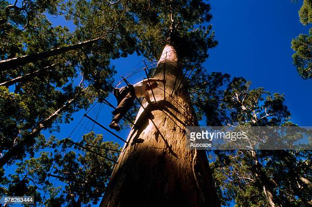 Visitor climbing the Dave Evans Bicentennial Tree a Karri by means of spikes with netting The fire lookout tree is 75 m tall Warren National Park...