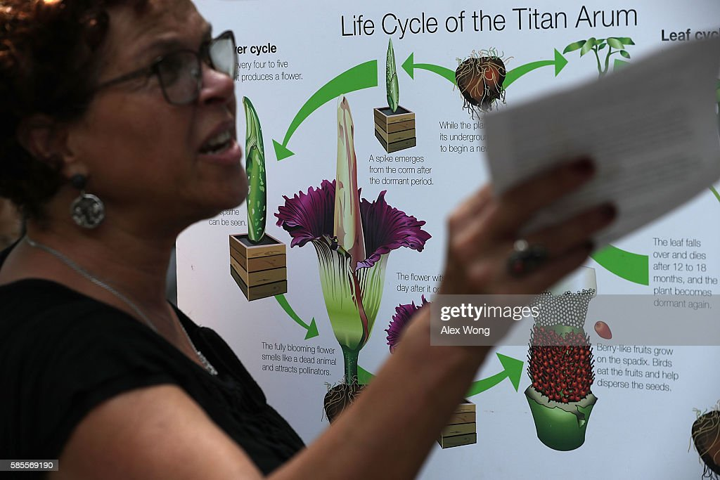 A visitor discusses about the Titan Arum, also known as the corpse flower, in full bloom at the U.S. Botanic Garden August 3, 2016 in Washington, DC. The plant is a native of Sumatra, Indonesia, and has the largest unbranched inflorescence in the world. It emits a stinky smell during its full bloom and last for 24-48 hours before it collapses.