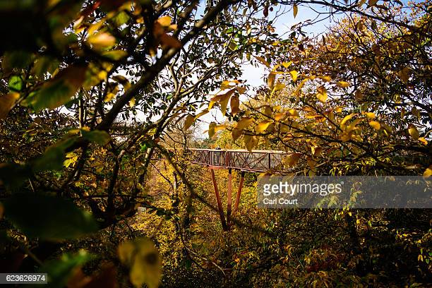 A visitor enjoys the treetop walkway at Kew Gardens on November 16 2016 in Kew England Surprisingly warm weather has seen London temperatures rise to...