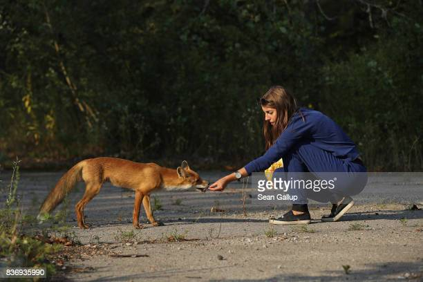 A visitor feeds a docile fox in the ghost town of Pripyat not far from the Chernobyl nuclear power plant on August 19 2017 in Pripyat Ukraine On...