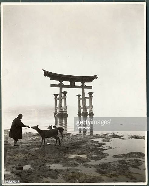 Visitor feeds two deer on a tideflat next to the Torri Gate at the Itsukushima Jinja Shrine on the coast of Japan. This giant Red Torii forms a water...