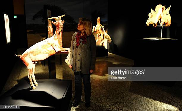 Visitor look at a plastinated ibex on the opening day at the Body World Animals exhibition at the Cologne Zoo on April 15, 2011 in Cologne, Germany....