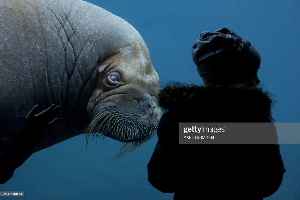 Image result for A walrus looks at a visitor, March 6, 2017, in a zoo in Hamburg.