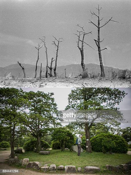 This digital composite shows the trees near the Hiroshima Castle right after the atomic bombing between August 9 and 12 1945 and on May 26 2016 in...