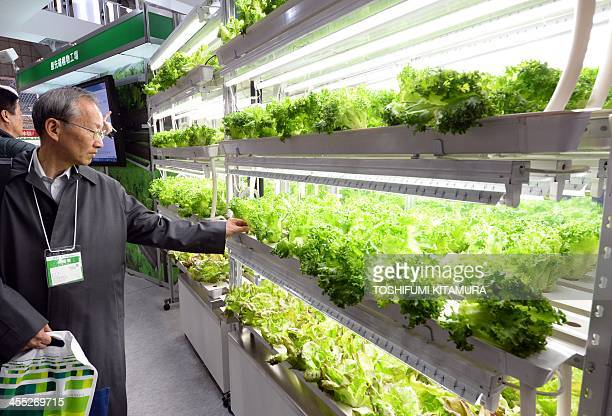A visitor looks at leaf lettuce growing on the shelf at the Fujitsu booth display at the EcoProducts 2013 exhibition in Tokyo on December 12 2013...