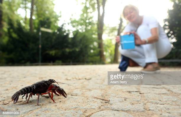 A visitor photographs a Louisiana crawfish or Procambarus clarkii in the Tiergarten park on August 24 2017 in Berlin Germany Popular features in...