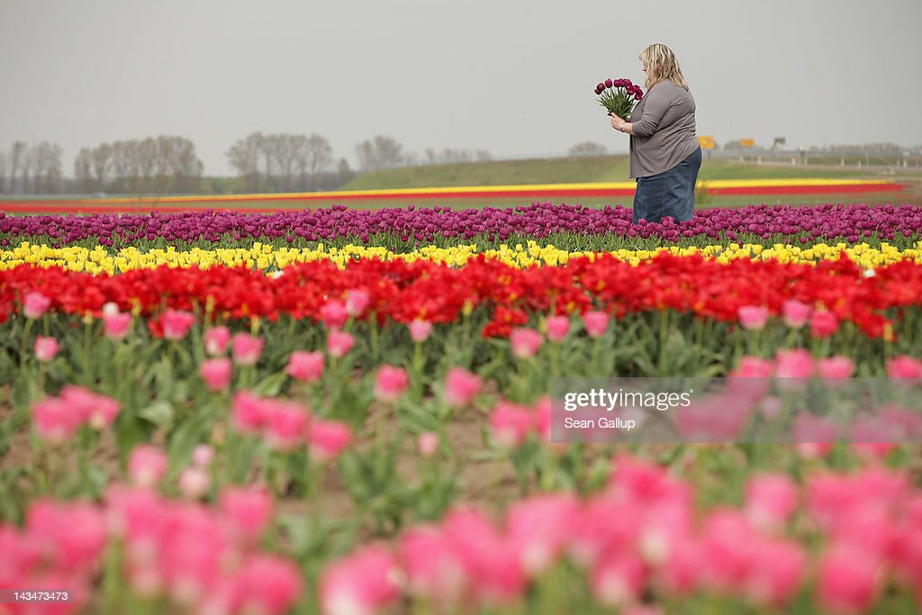 A visitor plucks tulips from a self-service tulip field on April 27, 2012 near Schwaneberg, Germany. Spring weather is finally taking hold in Germany with temperatures expected to reach 28 degrees Celsius by the weekend.