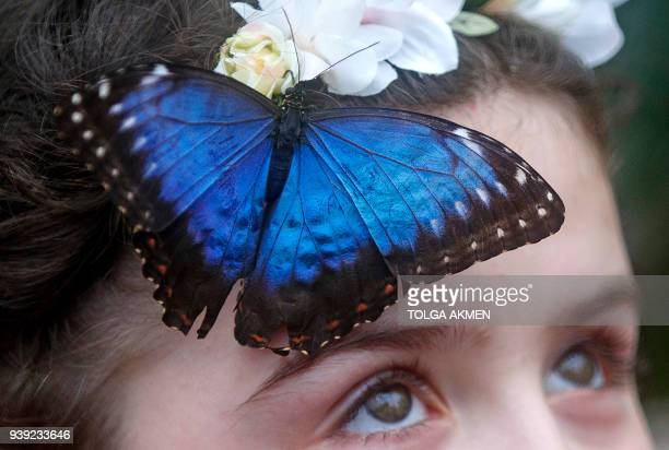 A visitor poses for a picture with a Blue Morpho butterfly during a photocall for the Sensational Butterflies exhibition at the Natural History...