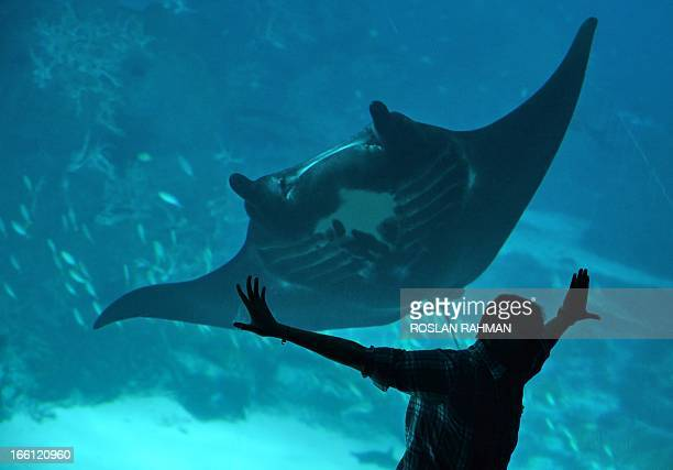 A visitor poses for photoragraphS against the acrylic panel as a giant stingray swimS past at the marine life park South East Asia world's largest...