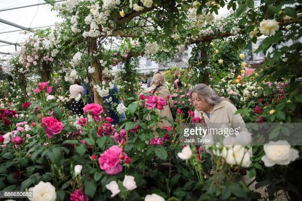 A visitor smells a flower in a rose garden at the Chelsea Flower Show on May 22 2017 in London England The prestigious Chelsea Flower Show held...