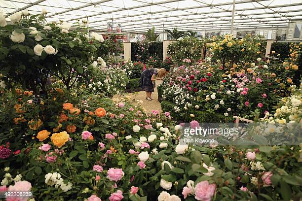 A visitor smells a rose on a stand at the 2014 Chelsea Flower Show at Royal Hospital Chelsea on May 19 2014 in London England The prestigious...