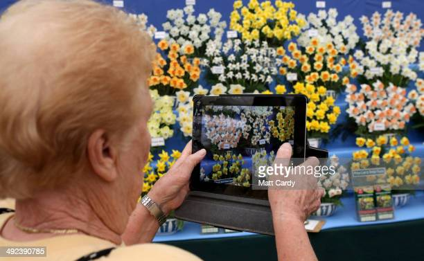 A visitor stops to photograph the daffodils that are displayed in The Great Pavilion at the RHS Chelsea Flower Show on May 20 2014 in London England...