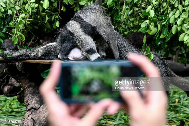 Visitor take photos of a female giant anteater and her three-month-old twin cubs at Chimelong Safari Park on June 10, 2020 in Guangzhou, Guangdong...