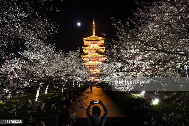 A visitor take pictures to night of cherry blossoms at Yingyuan park on March 202019 in Wuhan Hubei province China Cherry blossoms in Wuhan are very...