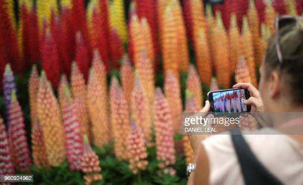 A visitor takes a photograph of a display of Lupins during a visit the 2018 Chelsea Flower Show in London on May 21 2018 The Chelsea flower show held...