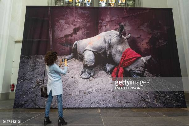 A visitor takes a picture of a photograph showing a young southern white rhinoceros drugged and blindfolded about to be released into the wild in...